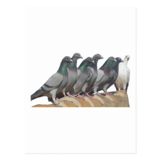 Group of carrier pigeons postcard
