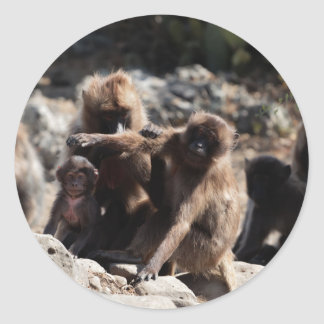 Group of gelada baboons (Theropithecus gelada) Classic Round Sticker