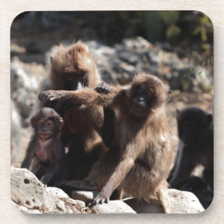 Group of gelada baboons (Theropithecus gelada) Coaster