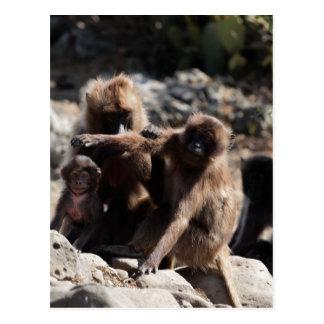 Group of gelada baboons (Theropithecus gelada) Postcard
