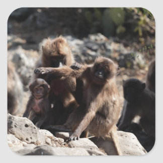 Group of gelada baboons (Theropithecus gelada) Square Sticker