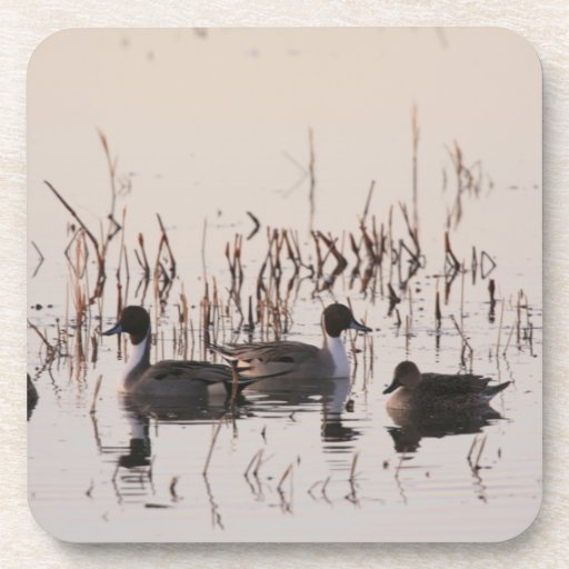 Group of Pintail Ducks Gather and Swims in a lake Beverage Coaster