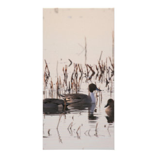 Group of Pintail Ducks Gather and Swims in a lake Photo Card