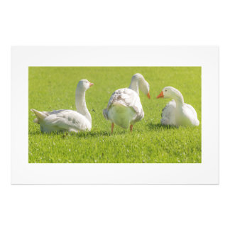 Group of White Geese Resting on the Grass Photo Art