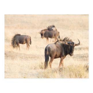 Group of wildebeest postcard