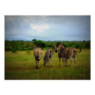 Group Of Zebras Posters