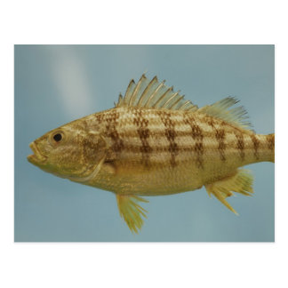 Grunt Fish Postcard