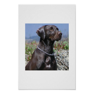GSP - German Shorthaired Pointer Poster