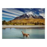 Guanaco crossing the river in Torres del Paine Print