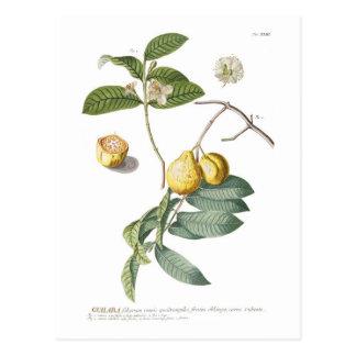 Guava Postcard
