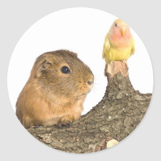 guinea pig and yellow bird classic round sticker