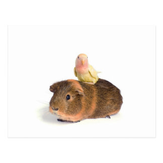 guinea pig and yellow bird postcard