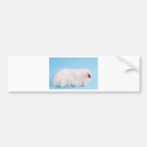 guinea pig bumper stickers