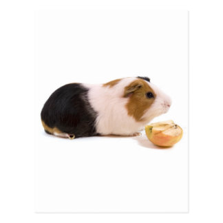 guinea pig eating an apple cartes postales