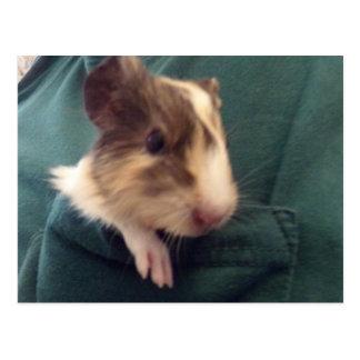 guinea pig in pocket postcard