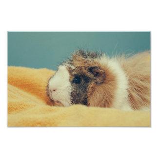 Guinea pig photo print