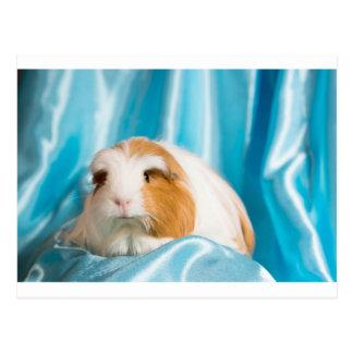guinea pig postcards