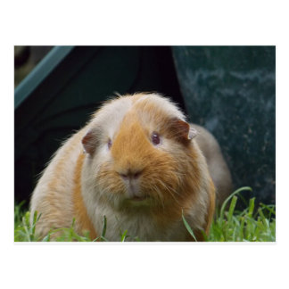 Guinea pig post cards