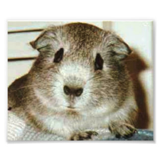 guinea pig print photo art