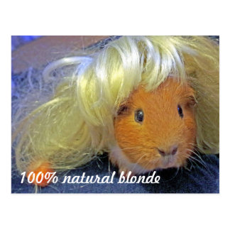Guinea pig with blonde wig postcard