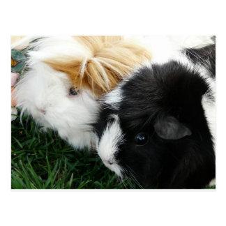 guinea pigs 2 postcard