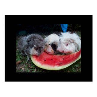 guinea pigs eatting watermellon postcard