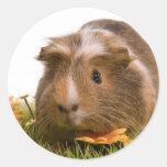 guinea pigs on a lawn autocollants