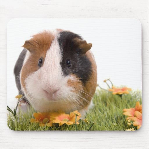 guinea pigs one has lawn mouse pads