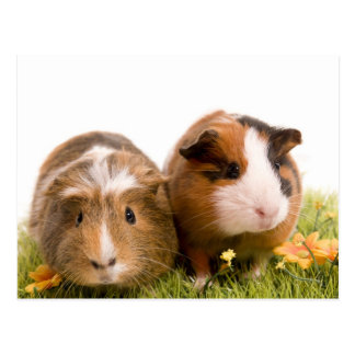 guinea pigs one has lawn postcard