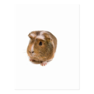 guinea pigs post cards