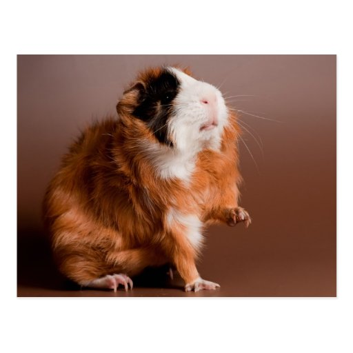 guinea pigs post card