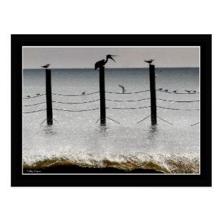 Gulls and a Pelican Postcard
