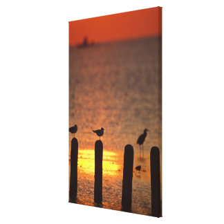 Gulls on pilings in Laguna Madre, South Padre Canvas Prints