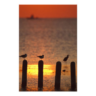 Gulls on pilings in Laguna Madre, South Padre Photo