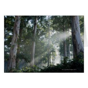 Gum trees (Eucalyptus) in rain forest Tokai