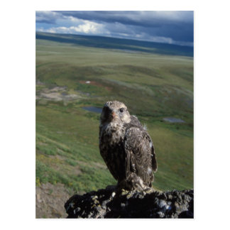 gyrfalcon, Falco rusticolus, juvenile getting Postcard