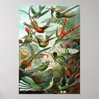 Haeckel's Hummingbirds Poster