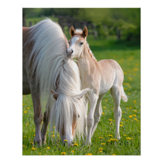 Haflinger Horses Cute Baby Foal With Mum Photo * Poster