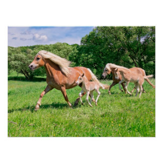 Haflinger Horses with Cute Foals Run Funny Animal Poster
