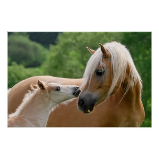 Haflinger mare and foal cuddling poster