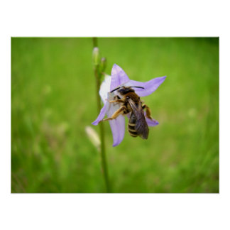 Hairy Footed Flower Bee Poster