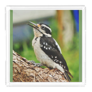 Hairy Woodpecker Acrylic Tray