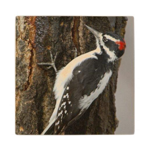 Hairy Woodpecker male on aspen tree, Grand Teton Maple Wood Coaster