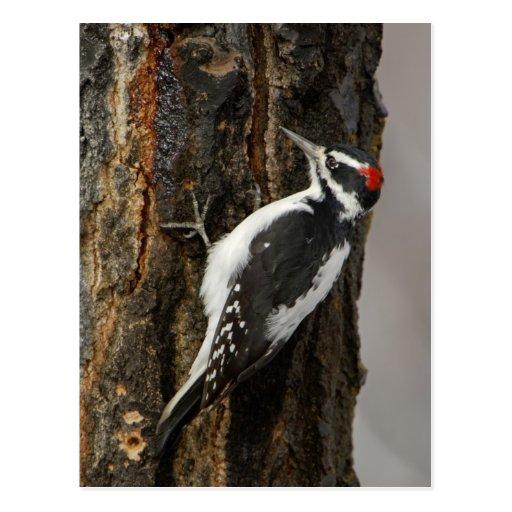 Hairy Woodpecker male on aspen tree, Grand Teton Postcard