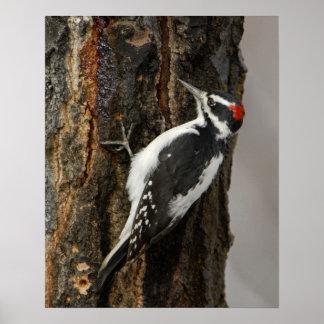 Hairy Woodpecker male on aspen tree, Grand Teton Print