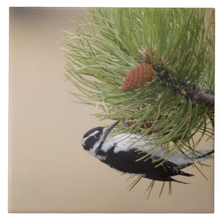Hairy Woodpecker, Picoides villosus, female Tile