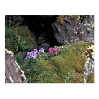 Hall Island Jacobs Ladder and Lousewort in auklet Postcard