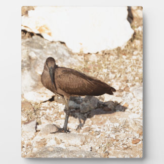 Hamerkop (Scopus umbretta) on a rock. Plaque