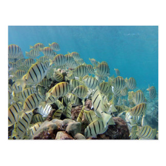 Hanauma Bay - Convict Tangs Postcard