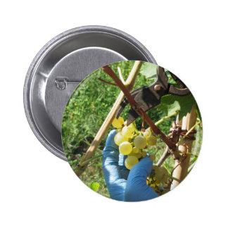 Hand cutting white grapes, harvest time 6 cm round badge